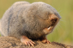 The amazing mole rat